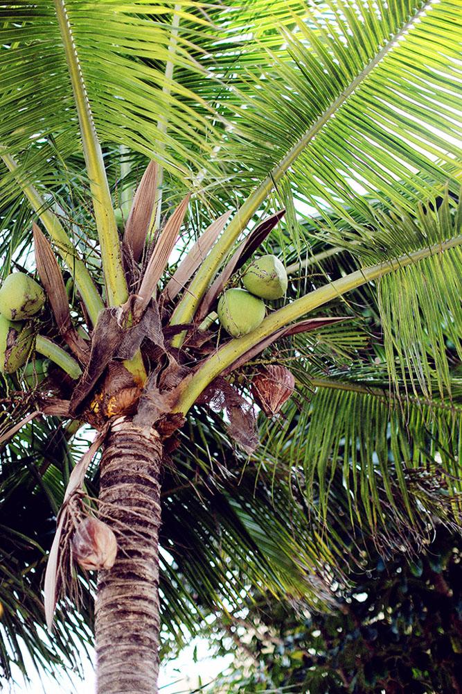 palm coconuts